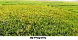 Boru-Dhan-Photo-Chunarughat-copy-300x156